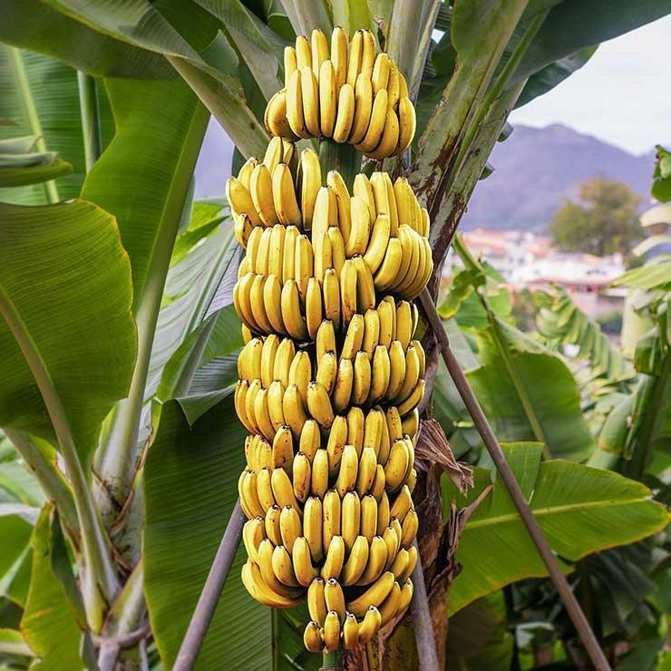 An acre of Bananas |